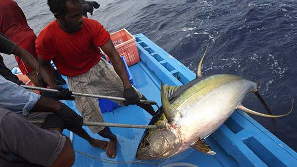To Save Indian Ocean Yellowfin Tuna From Overfishing, Managers Must Act Now