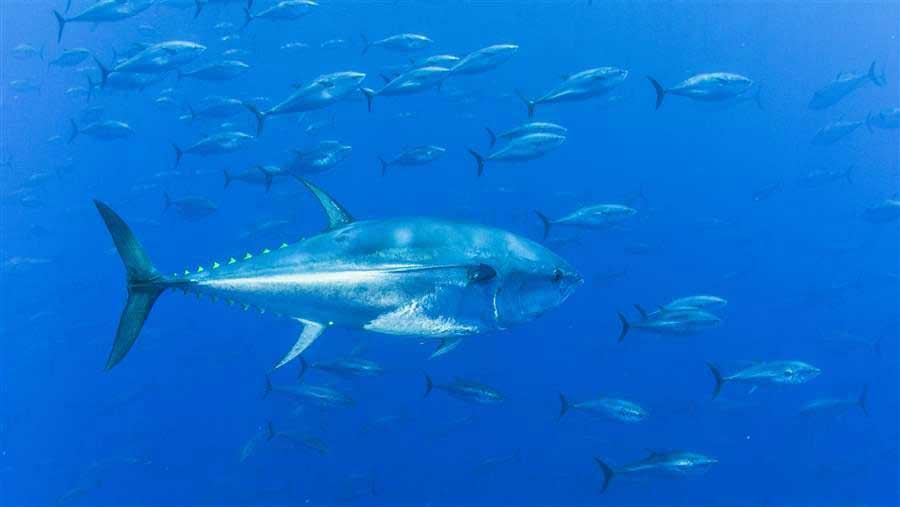 To Slow Decline of Western Atlantic Bluefin Tuna, Fishery Managers Must Lower Quota