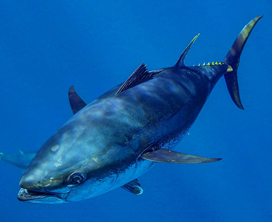 Case Studies - Southern Bluefin Tuna