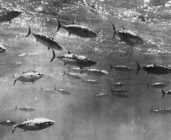 Case Studies - Indian Ocean Skipjack Tuna