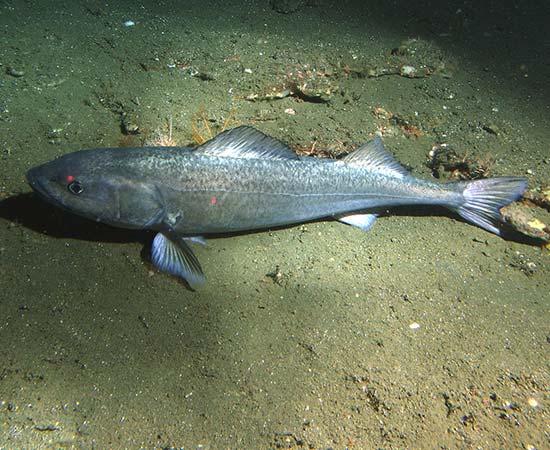 Case Studies - British Columbia Sablefish