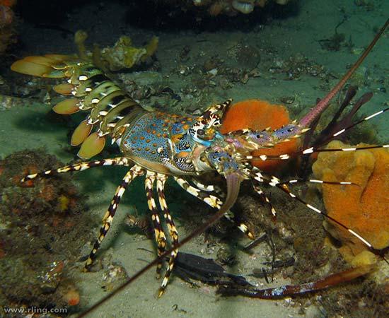 Case Studies - Rock Lobster