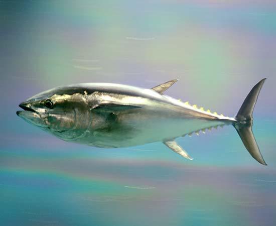 Case Studies - Pacific Bluefin Tuna
