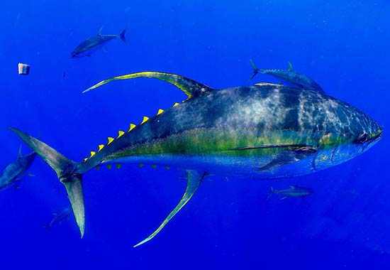 Case Studies - Indian Ocean Yellowfin Tuna