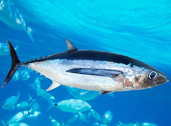 Case Studies - Indian Ocean Albacore Tuna
