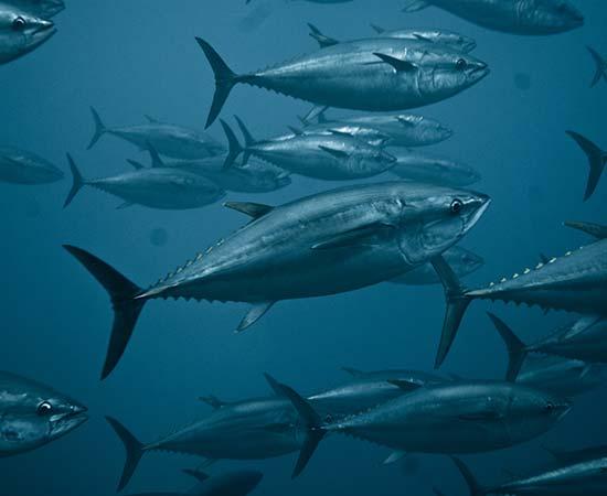 Case Studies - Indian Ocean Bigeye Tuna