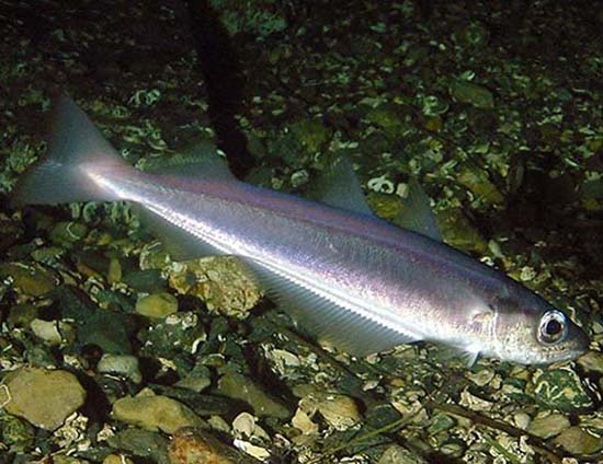 Case Studies - Blue Whiting