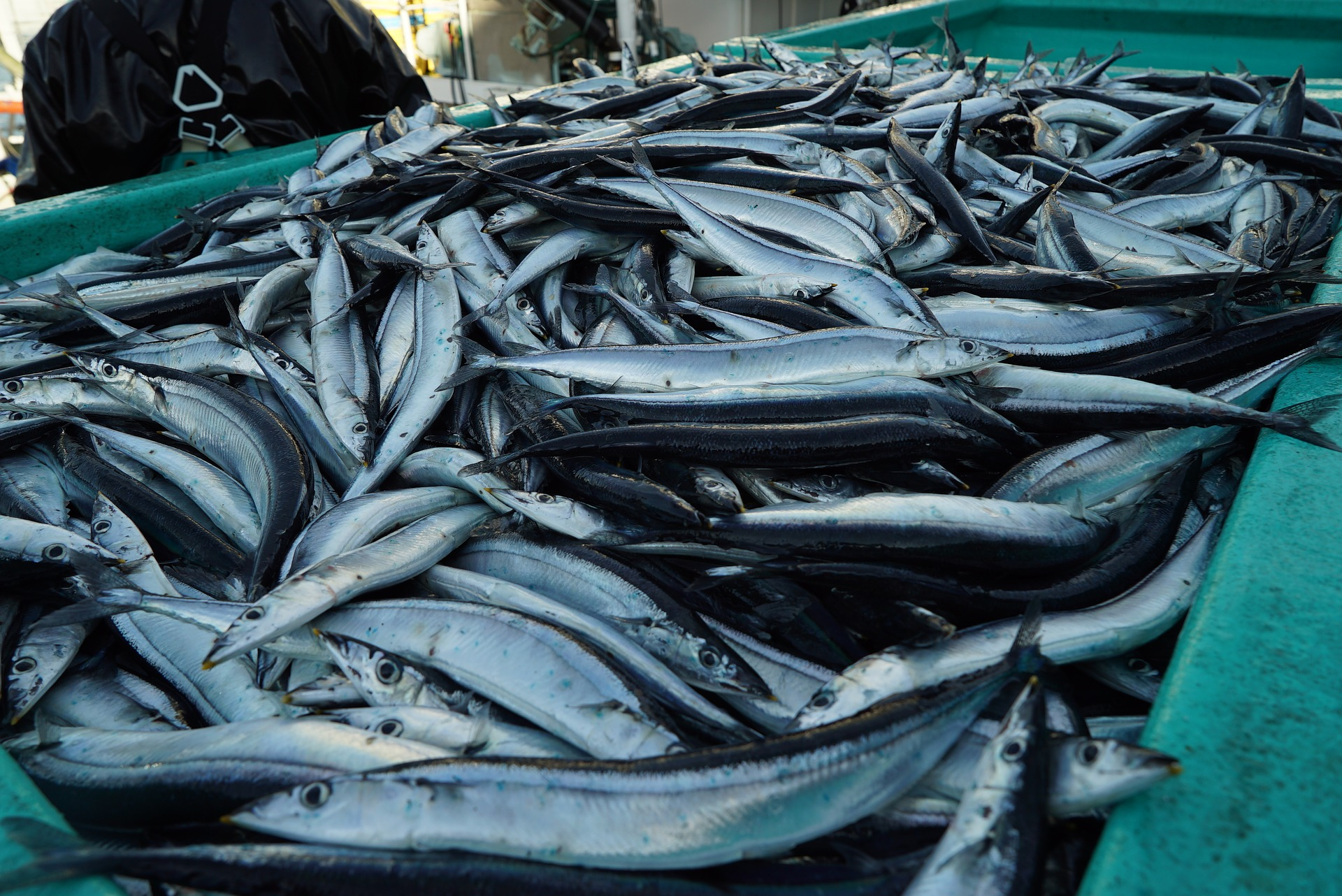 NPFC establishes a working group dedicated to developing a HCR for Pacific Saury