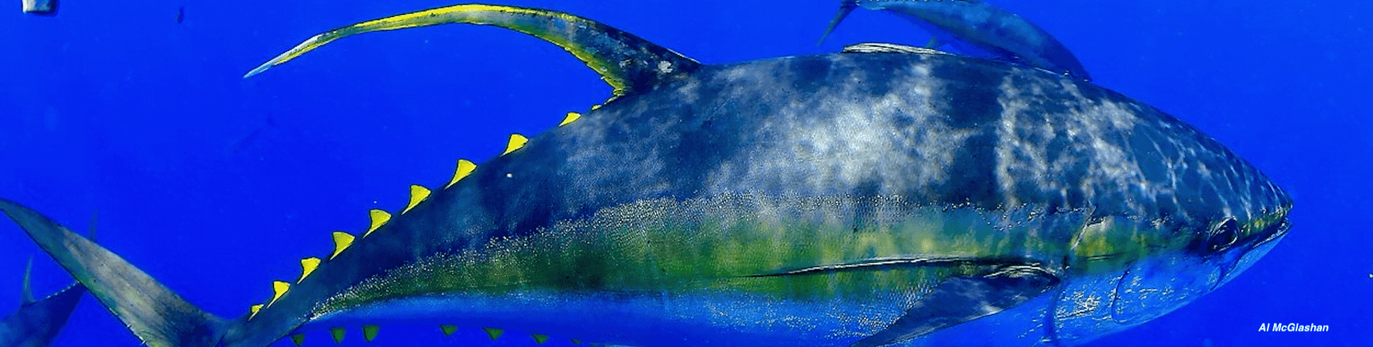 IOTC adopts resolution to rebuild yellowfin tuna stock, but NGOs question its effectiveness